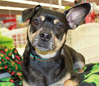 Boston Terrier Mix Dog for adoption in St. Charles, Missouri - Charlie