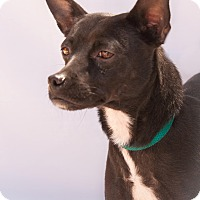 Adopt A Pet :: Sweet Pea - Surprise, AZ