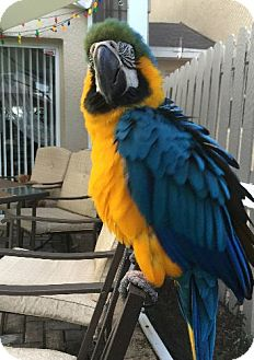 Macaw for adoption in Tampa, Florida - Jackie