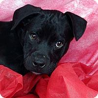 Adopt A Pet :: Taurus - St. Louis, MO