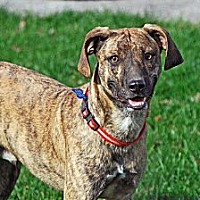 Mountain Cur Dog for adoption in Upper Sandusky, Ohio - Cletus