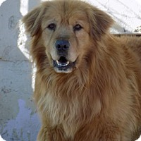 Golden Retriever Mix Dog for adoption in Apple Valley, California - Prince