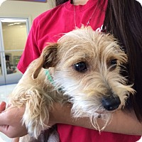 Adopt A Pet :: Tequila - San Pedro, CA