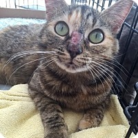Adopt A Pet :: Ashton $20 - Lincolnton, NC
