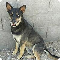 Adopt A Pet :: Nekito - Mesa, AZ