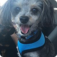 Adopt A Pet :: Little Louie - Las Vegas, NV