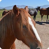 Adopt A Pet :: Cowboy - Ogden, UT