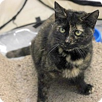 Domestic Shorthair Cat for adoption in Concord, North Carolina - Val