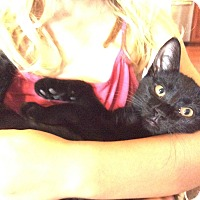 Domestic Shorthair Kitten for adoption in Rochester, Minnesota - Con Panna