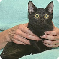 Domestic Shorthair Kitten for adoption in Reston, Virginia - Marsala