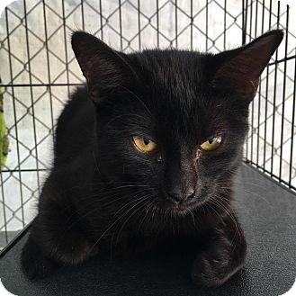 Domestic Shorthair Kitten for adoption in Westminster, California - Coconut
