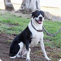 Adopt A Pet :: Maja - San Diego, CA
