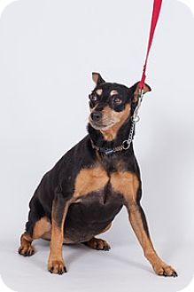 Miniature Pinscher Dog for adoption in Jupiter, Florida - Pinnochio