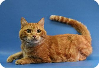 Domestic Shorthair Cat for adoption in Overland Park, Kansas - Clever Bob