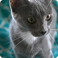 Russian Blue Cat for adoption in Spring Valley, New York - Greta