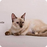 Balinese Kitten for adoption in Westlake, California - SHEBA