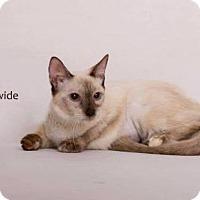 Balinese Kitten for adoption in Yucca Valley, California - SHEBA