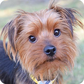 Yorkie, Yorkshire Terrier Mix Dog for adoption in Colorado Springs, Colorado - Phinneas