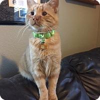 Adopt A Pet :: Boom Boom - Colorado Springs, CO