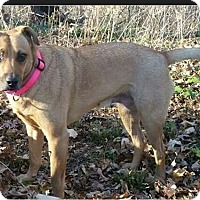 Labrador Retriever/Terrier (Unknown Type, Medium) Mix Dog for adoption in Huntington, Indiana - Sorilla