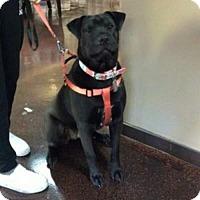 Shar Pei/Labrador Retriever Mix Dog for adoption in Chico, California - Aggie