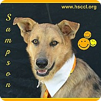 Adopt A Pet :: Sampson - Plano, TX