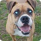Adopt A Pet :: Tyson (bbb)