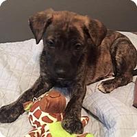 Adopt A Pet :: BRINDEN- PENDING ADOPTION!!! - Birmingham, MI