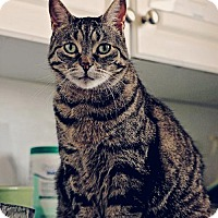 Domestic Shorthair Cat for adoption in Markham, Ontario - Granny