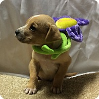 Adopt A Pet :: Sugar - Trenton, NJ