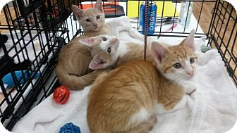 Domestic Shorthair Kitten for adoption in Melbourne, Florida - Butter & Moshi
