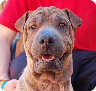 Shar Pei Mix Dog for adoption in Las Vegas, Nevada - Kristofer