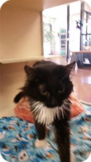 Domestic Longhair Cat for adoption in Sedona, Arizona - Mia