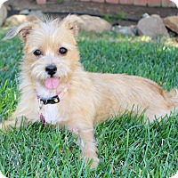 Adopt A Pet :: Latte (female) - Yorba Linda, CA