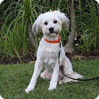 Adopt A Pet :: GRETCHEN - Newport Beach, CA