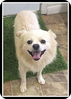 Pekingese/Pomeranian Mix Dog for adoption in Indian Trail, North Carolina - Barney