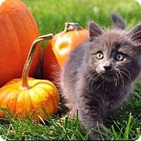 Domestic Longhair Kitten for adoption in Fenton, Missouri - Tea