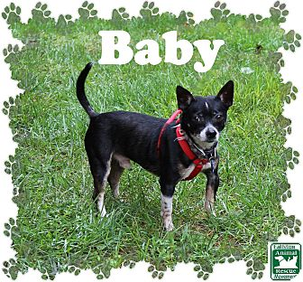 Chihuahua Mix Dog for adoption in Fallston, Maryland - Baby