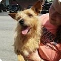 Yorkie, Yorkshire Terrier/Cairn Terrier Mix Dog for adoption in Manchester, New Hampshire - Winn Dixie