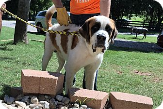St. Bernard Dog for adoption in McKinney, Texas - Houston
