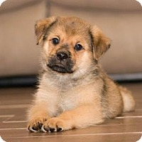 Terrier (Unknown Type, Small)/Pug Mix Puppy for adoption in Santa Fe, Texas - Galaxy