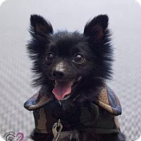 Adopt A Pet :: Sarge - Grand Rapids, MI
