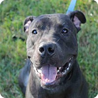 Pit Bull Terrier Dog for adoption in Decatur, Illinois - COG