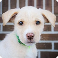 Adopt A Pet :: Memphis * Puppy - Litter of TEN - Gretna, NE