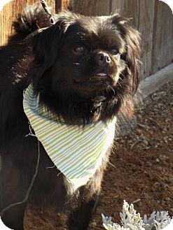 Pekingese Dog for adoption in Apple Valley, California - Corky