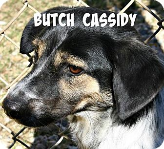 Jack Russell Terrier/Beagle Mix Dog for adoption in Richland Hills, Texas - Butch Cassidy