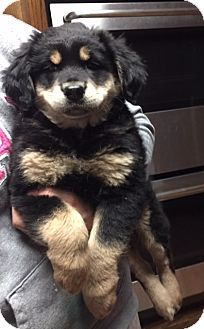 Bernese Mountain Dog/Spaniel (Unknown Type) Mix Puppy for adoption in Bridgewater, New Jersey - Loe