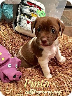 Chihuahua/Corgi Mix Puppy for adoption in Milton, Georgia - PINTO