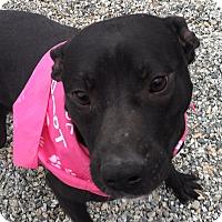 Adopt A Pet :: Vegas Lights - Greensboro, NC