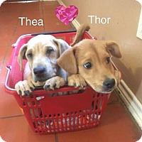 Adopt A Pet :: Thor - Jay, NY